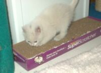 7 week old kitten on flat scratcher